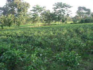 piccoli giardini del tè